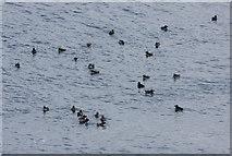 SM7304 : Raft of puffins in Crab Bay, Skokholm by Bob Jones