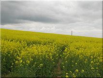SE9238 : Rape field, Stoneknowle Hill by JThomas