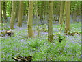 SO4281 : Bluebells in Sallow Coppice by Jeremy Bolwell