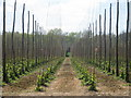 TQ7441 : Hop Field at Huggins Farm by Oast House Archive