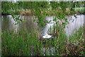 TQ1731 : Swan nesting, Horsham Park by N Chadwick