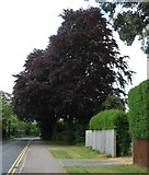 SP3177 : Copper beeches, Beechwood Avenue by E Gammie