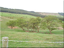 NZ5812 : Old hedge near Roseberry Topping by Reece Fowler