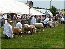 SX9891 : Westpoint : Devon County Show 2010 - Sheep Judging by Lewis Clarke