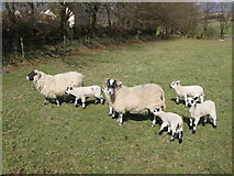 NY5675 : Swaledale sheep and lambs near New House by Mike Quinn