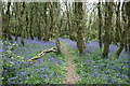 SW8341 : Bluebells in woods north of Cowlands Creek 2010 by Fred James