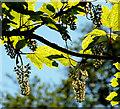 J3067 : Sycamore flowers near Dunmurry by Albert Bridge