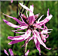 SJ7965 : Flower of the Ragged Robin by Jonathan Kington