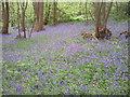 TQ4878 : Bluebells in Lesnes Abbey Woods by Marathon