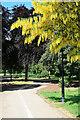 SK4833 : Laburnum in West Park by David Lally