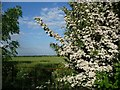 SE5117 : Flowering bush on field boundary by Christine Johnstone