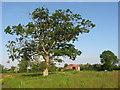 O1469 : Oak tree at Keenoge, Co. Meath by Kieran Campbell