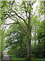 NR6447 : Scotch Elm/ Wych Elm (Ulmus Glabra) by David Hawgood