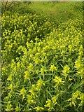 SX9066 : Yellow Rattle, Barton tip by Derek Harper