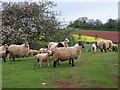 ST0139 : Ewes and lambs, Rodhuish by Maigheach-gheal