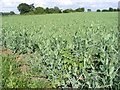 TM3370 : Pea Crop at Moat Farm by Adrian Cable