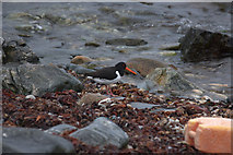 HP5605 : Oystercatcher (Haemotopus ostralegus), Westing beach by Mike Pennington