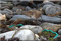 HP5605 : Sanderling (Calidris alba), Westing beach by Mike Pennington