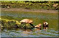 C8334 : Seals, River Bann near Coleraine by Albert Bridge
