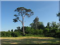O0870 : Scots Pine at Crufty, Co. Meath by Kieran Campbell