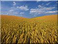 SE9961 : Barley Field by Andy Beecroft