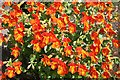 NJ2420 : Coppery Monkey Flower (Mimulus x burnetii) by Anne Burgess