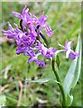 NJ3265 : Orchid by Anne Burgess