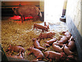 TQ9534 : Fifteen Piglets by Oast House Archive