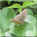 SO6725 : Ringlet butterfly by Pauline E