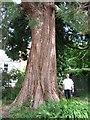 SZ0096 : Broadstone's Giant Sequoia by John Palmer
