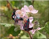 SX9066 : Six-spot burnet moths on bramble, Barton by Derek Harper