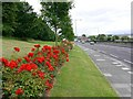 NZ2762 : Roses along Sunderland Road by Andrew Curtis
