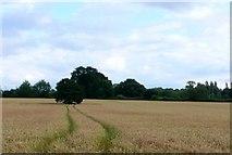 SP0058 : Wheat field by Nigel Mykura