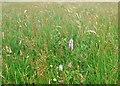 SD1772 : Meadow plants by Simon Huguet