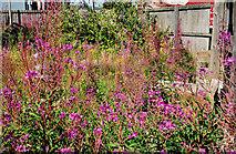 J3475 : Wildflowers (or weeds), Belfast by Albert Bridge