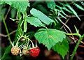 J1147 : Wild raspberries, Banbridge by Albert Bridge