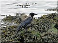 TG4806 : Hooded Crow by Adrian S Pye