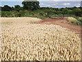 SP2874 : Wheat field, Hollis Lane by John Brightley