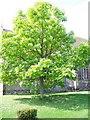 ST8926 : Lime tree, St Leonard's Churchyard, Semley by Maigheach-gheal