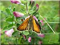 NZ1765 : Small Skipper (Thymelicus sylvestris), Walbottle Quarry by Andrew Curtis