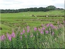 NY8693 : Sheep grazing near Lowtown Burn by Christine Johnstone
