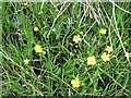 NN8831 : Lesser Spearwort in Glen Almond by M J Richardson