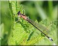TL3369 : Blue-tailed Damselfly (Ischnura elegans), immature female by Hugh Venables