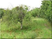 SO6466 : Orchard, Rochford by Richard Webb