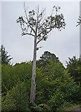 NG5536 : Phascolarctos Cinereus Ratharsair in a Eucalyptus by John Allan