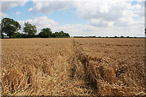 SK7628 : Footpath through the wheat by Kate Jewell