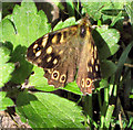 SJ8957 : Speckled Wood (Pararge aegeria) by Jonathan Kington