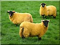 NY8262 : Orange sheep by Mike Quinn
