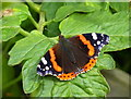 TR3358 : Red Admiral butterfly in the Secret Gardens of Sandwich by pam fray