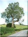 SO1785 : Black poplar, Anchor by Richard Greenwood